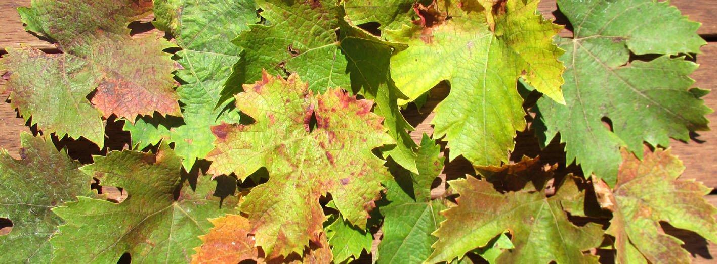 SL Cellar door vine leaves wide