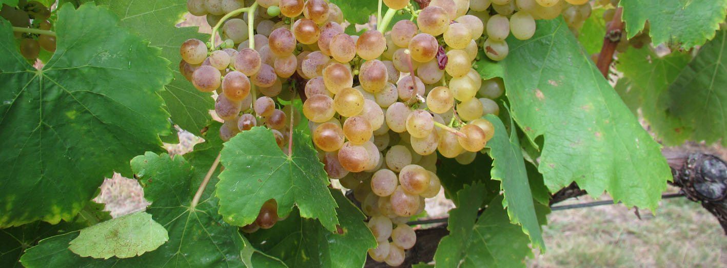 SL Wines white grapes